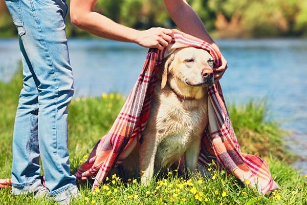 Labrador Hund im Sommer vor Sonne schützen