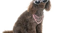 Hundemode Sommertrend - Pudel mit Sonnenbrille
