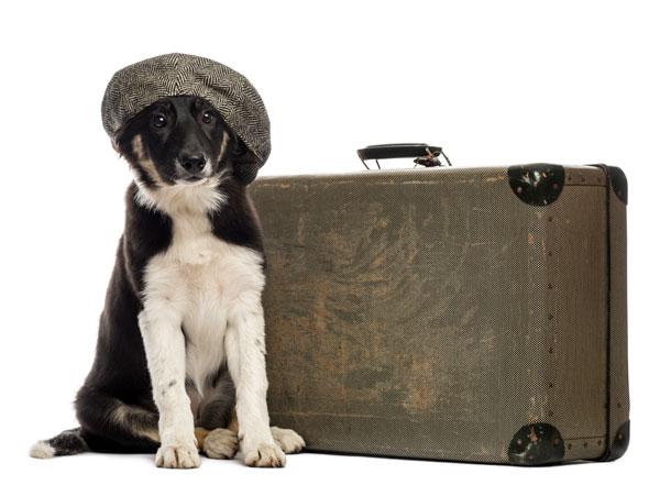 Sitzender Collie will mit seinem Koffer in den Hundeurlaub