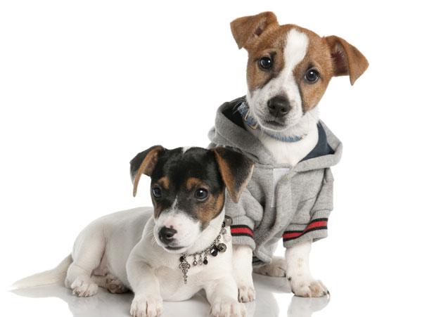 Jack Russel Welpen tragen einen grauen Hundemantel mit Kapuze - Jetzt online kaufen auf Hundemantel-Mode.de