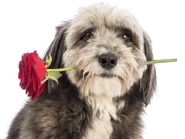 Kleiner Hund mit Rose zum Valentinstag - Beschenke deinen treuen Begleiter auf Hundemantel-Mode.de