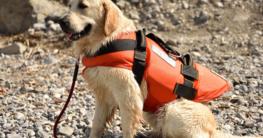 Golden Retriever mit orange Hundeschwimmweste