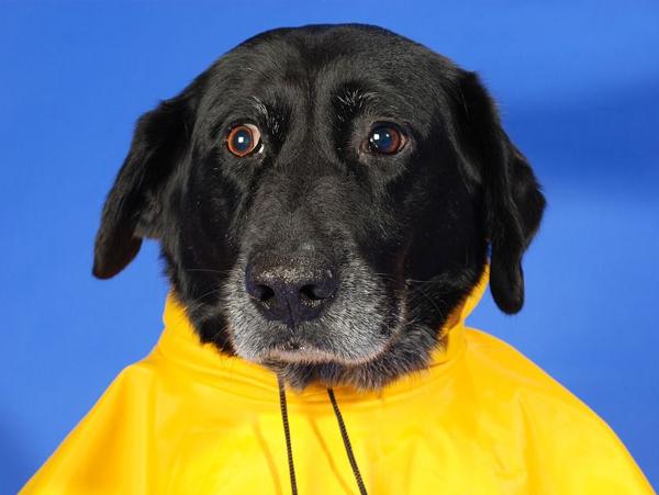 Großer schwarzer Hund trägt einen gelben Hunderegenmantel im Sommer