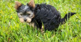 Kleiner Hund macht Kot auf die Wiese