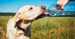 Golden Retriever trinkt aus der Flasche - Trinken ist besonders im Sommer wichtig