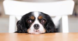Kleiner Hund wartet auf Essen am Tisch - Gesundes Hundefutter auf Hundemantel-Mode.de kaufen