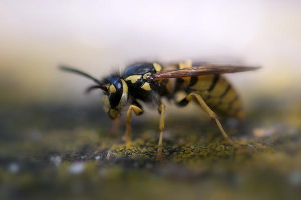 Wespenstich beim Hund im Sommer