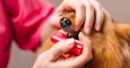 Dem Hund richtig Zähne putzen mit einer Hundezahnbürste - Jetzt Hundezahnbürste auf Hundemantel-Mode.de kaufen
