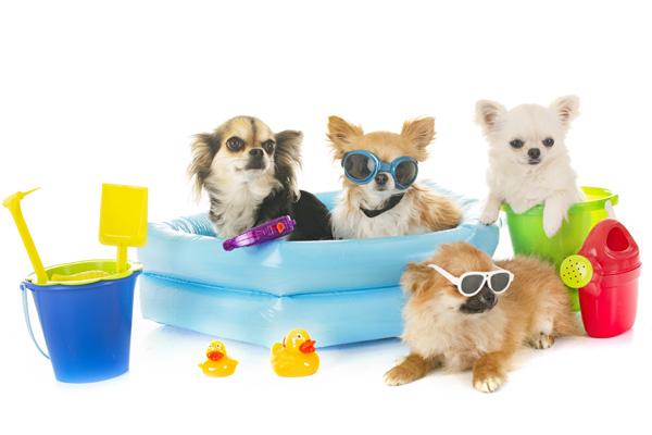 Chihuahuas machen Ferien im Hundepool - Hundepool und coole Produkte auf Hundemantel-Mode.de