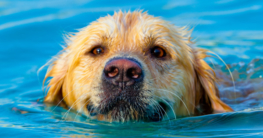 Golden Retriever schwimmt im Wasser und holt sich eine Abkühlung - Hundepool auf Hundemantel-mode.de