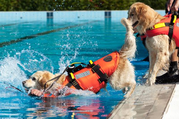 Golden Retriever Hunde als Rettungsschwimmer mit Hundeschwimmwesten bei Übungen im Wasser